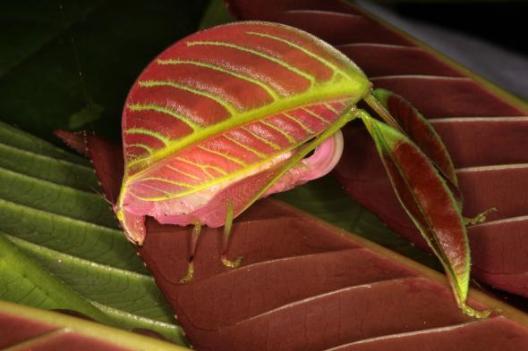pink-katydid-01-adapt-590-1