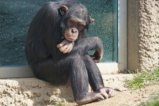 chimpanzee-1273601_960_720