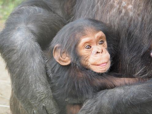 chimpanzee-830535_960_720