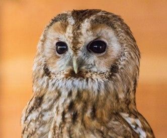 Troy tawny owl (1 of 1)