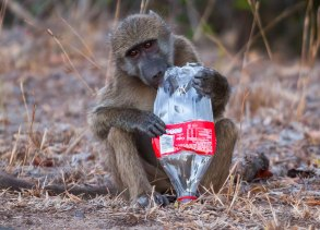 Baboon and coke