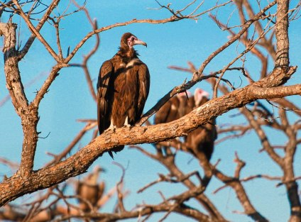 Vultures in tree (1 of 1)